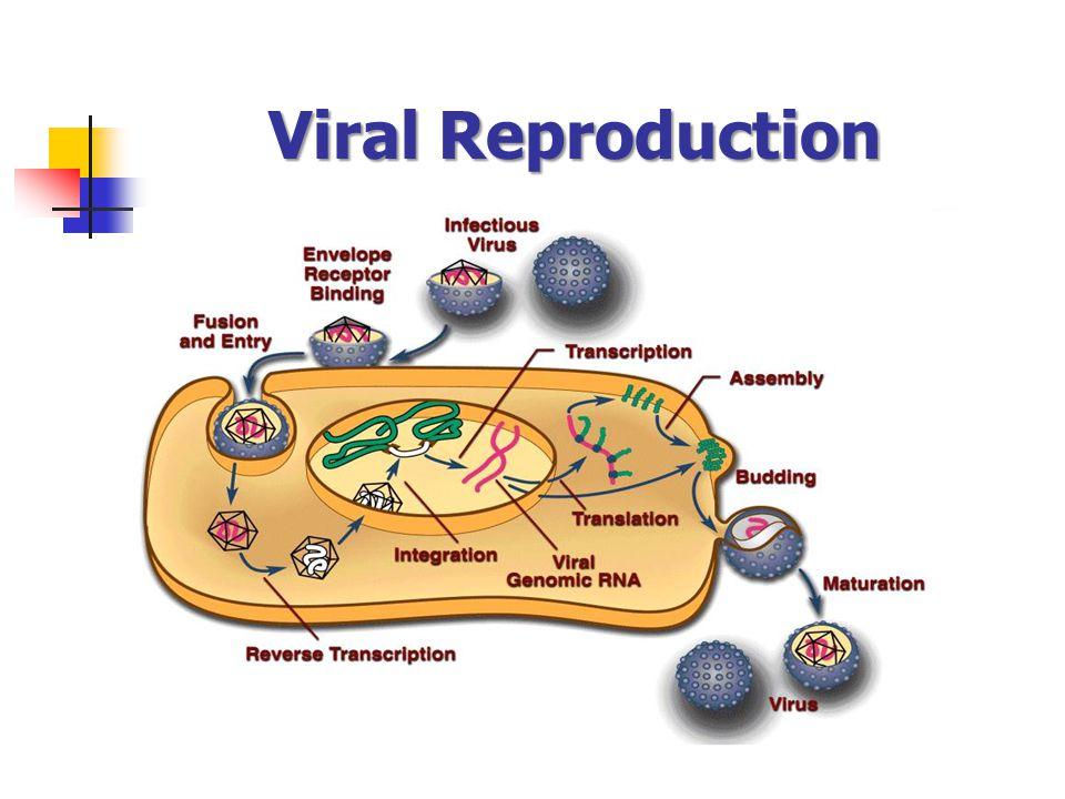 Viral Reproduction