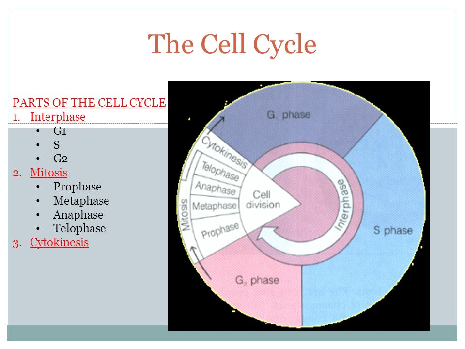 The Cell Cycle PARTS OF THE CELL CYCLE 1.Interphase G1 S G2 2.Mitosis Prophase Metaphase Anaphase Telophase 3.Cytokinesis