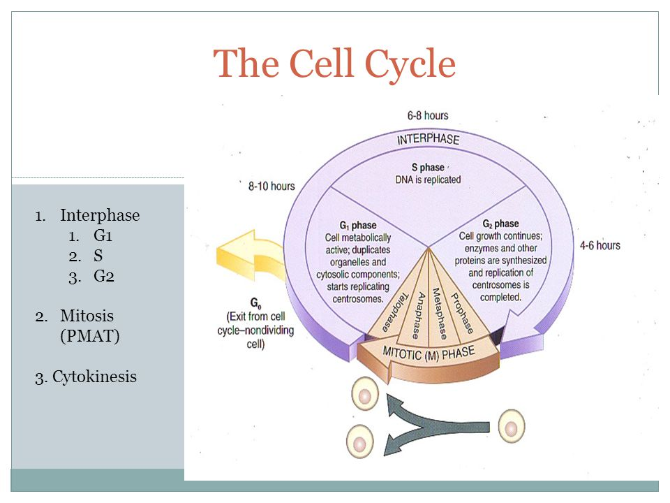 The Cell Cycle 1.Interphase 1.G1 2.S 3.G2 2.Mitosis (PMAT) 3. Cytokinesis
