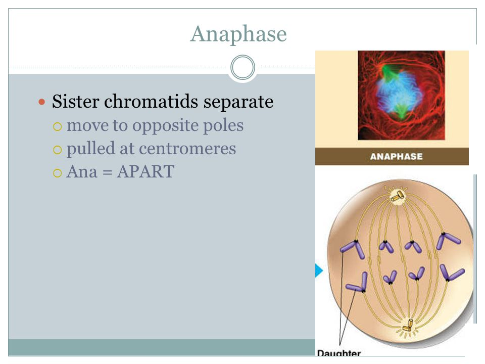 Anaphase Sister chromatids separate  move to opposite poles  pulled at centromeres  Ana = APART