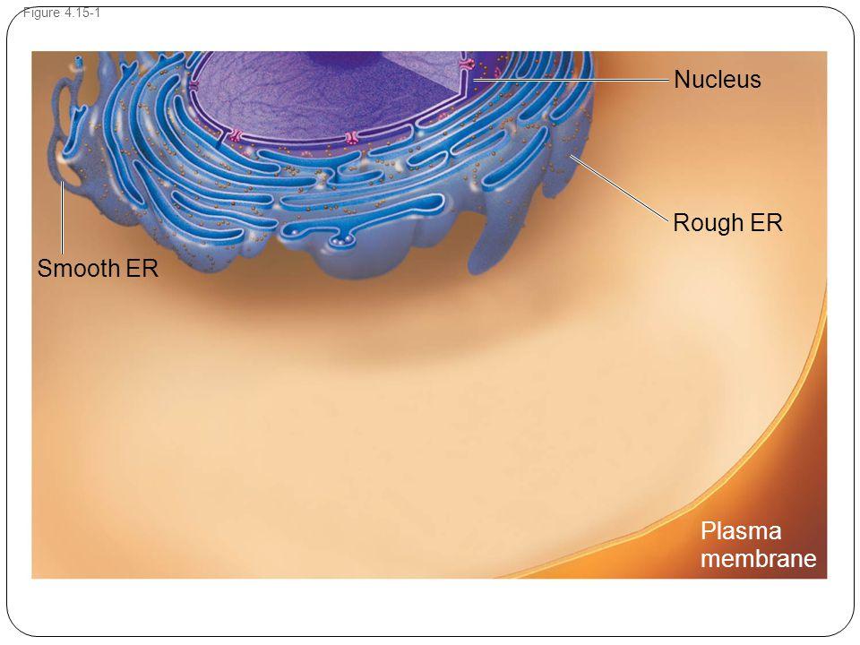 Figure 4.15-1 Rough ER Nucleus Smooth ER Plasma membrane