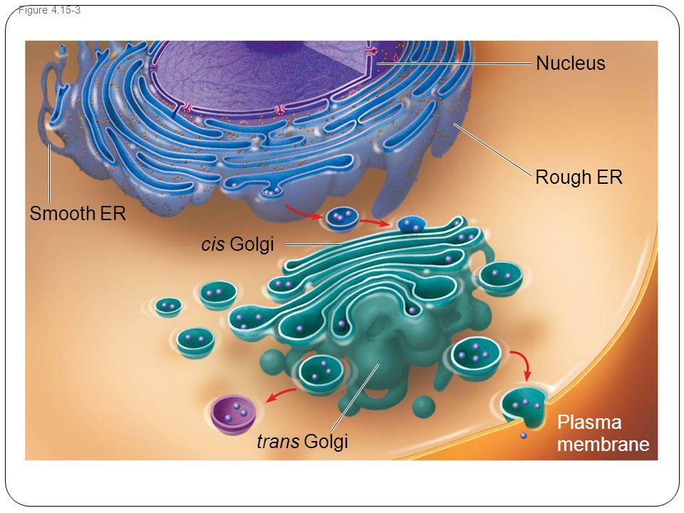 Figure 4.15-3 Plasma membrane Rough ER cis Golgi Nucleus Smooth ER trans Golgi