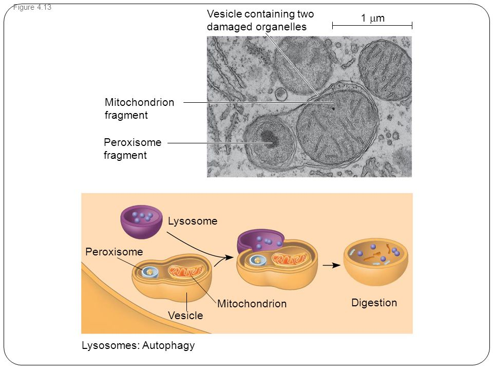 Figure 4.13 Lysosome Lysosomes: Autophagy Peroxisome Mitochondrion Vesicle Digestion Mitochondrion fragment Peroxisome fragment Vesicle containing two damaged organelles 1  m