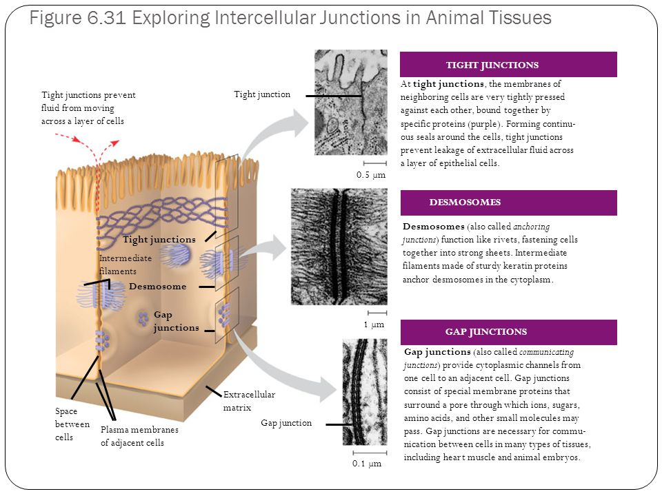 Figure 6.31 Exploring Intercellular Junctions in Animal Tissues Tight junctions prevent fluid from moving across a layer of cells Tight junction 0.5 µm 1 µm Space between cells Plasma membranes of adjacent cells Extracellular matrix Gap junction Tight junctions 0.1 µm Intermediate filaments Desmosome Gap junctions At tight junctions, the membranes of neighboring cells are very tightly pressed against each other, bound together by specific proteins (purple).