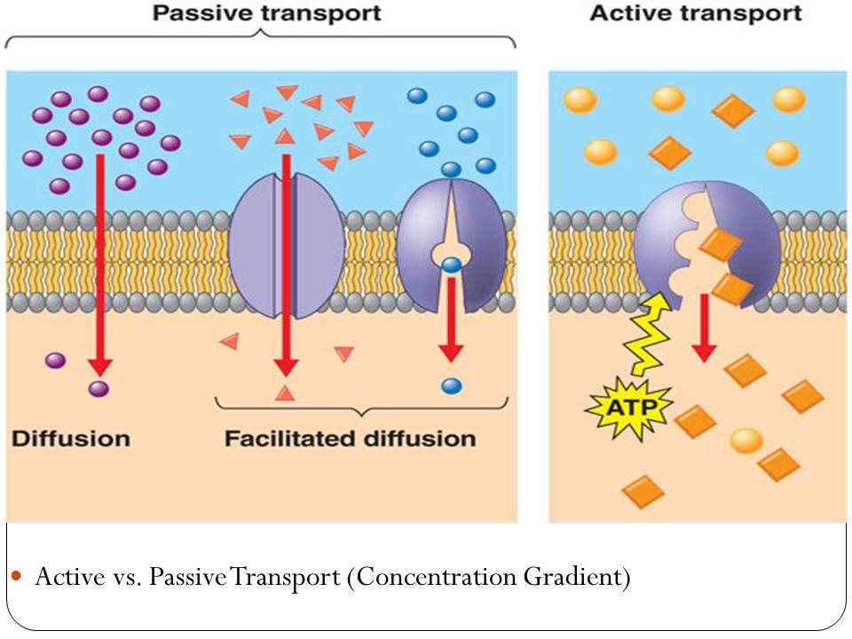 Active vs. Passive Transport (Concentration Gradient)
