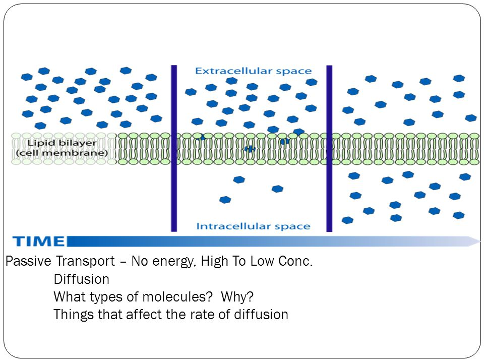 Passive Transport – No energy, High To Low Conc. Diffusion What types of molecules.
