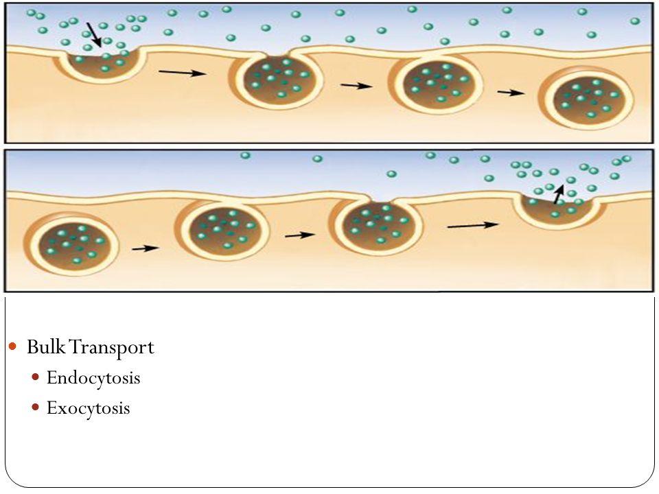 Bulk Transport Endocytosis Exocytosis
