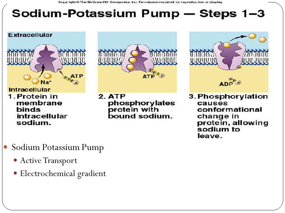 Sodium Potassium Pump Active Transport Electrochemical gradient