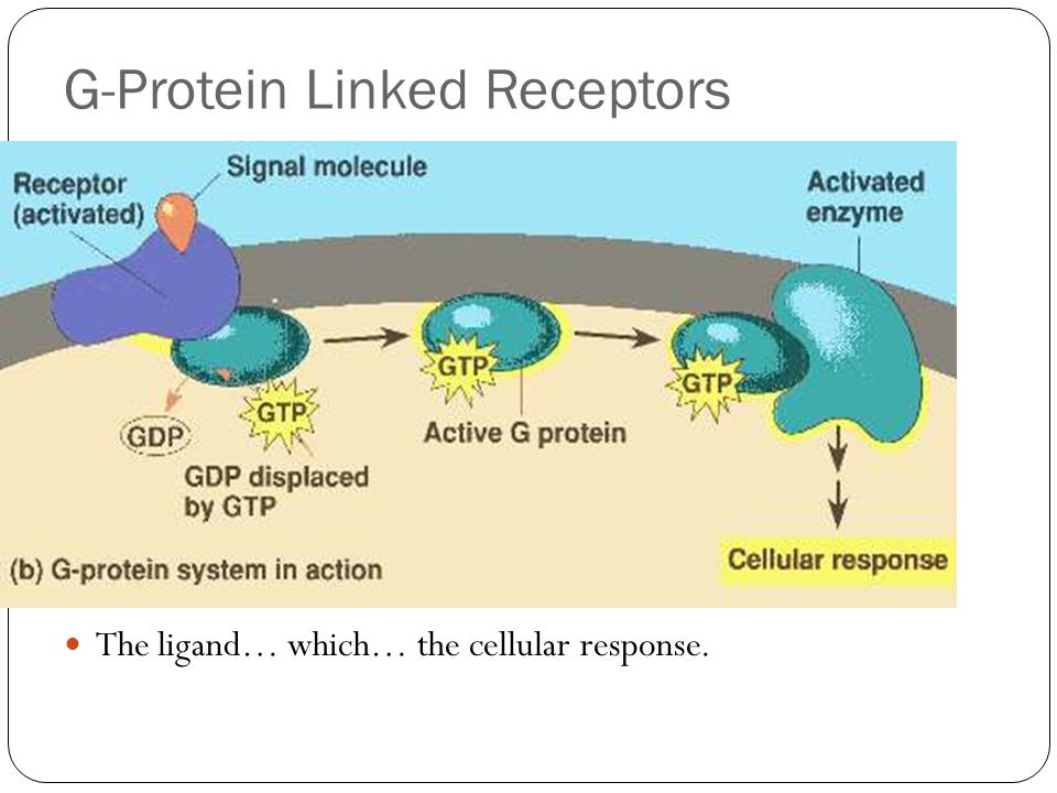 G-Protein Linked Receptors The ligand… which… the cellular response.