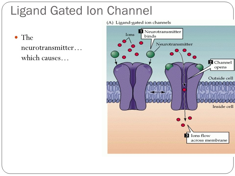 Ligand Gated Ion Channel The neurotransmitter… which causes…