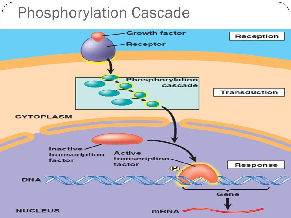 Phosphorylation Cascade