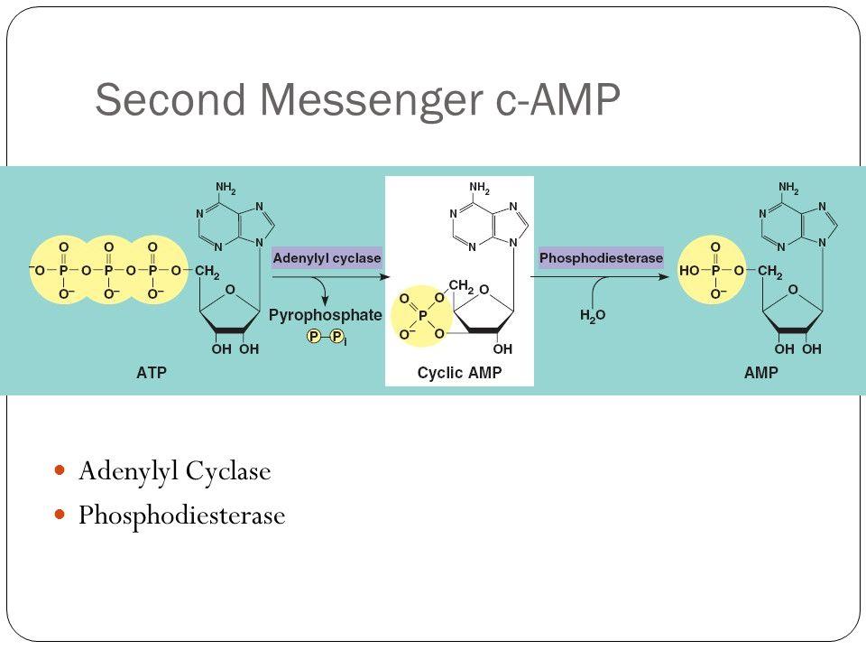 Second Messenger c-AMP Adenylyl Cyclase Phosphodiesterase