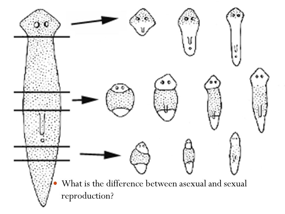 What is the difference between asexual and sexual reproduction
