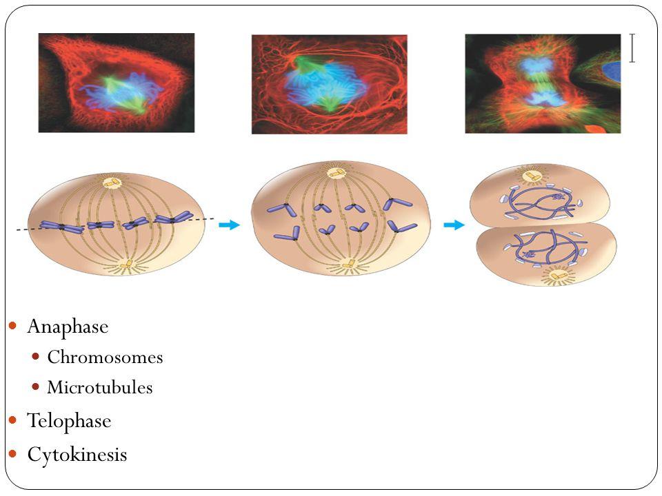 Anaphase Chromosomes Microtubules Telophase Cytokinesis