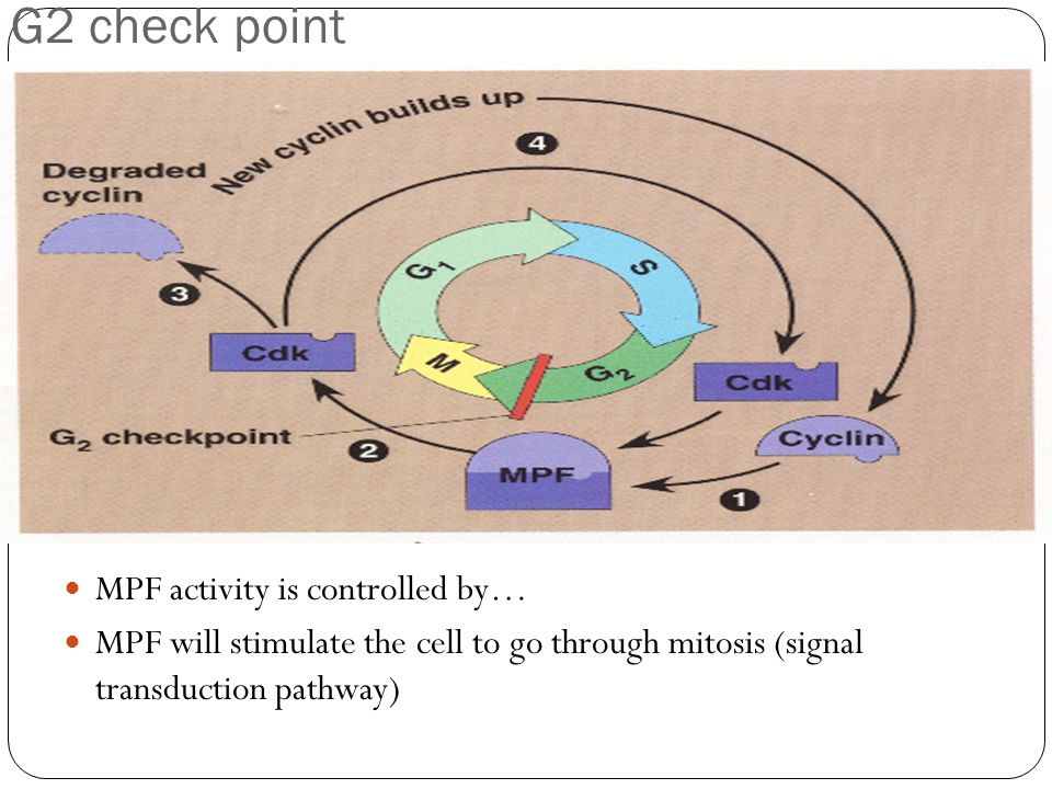 MPF activity is controlled by… MPF will stimulate the cell to go through mitosis (signal transduction pathway) G2 check point