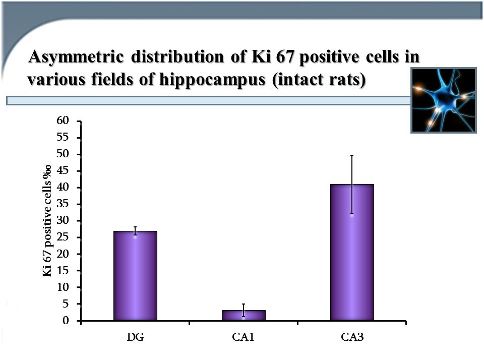Asymmetric distribution of Ki 67 positive cells in various fields of hippocampus (intact rats)