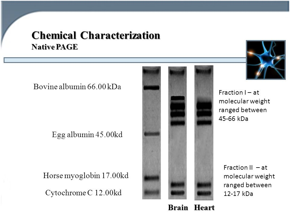 Chemical Characterization Native PAGE Bovine albumin 66.00 kDa Egg albumin 45.00kd Horse myoglobin 17.00kd Cytochrome C 12.00kd BrainHeart Fraction I – at molecular weight ranged between 45-66 kDa Fraction II – at molecular weight ranged between 12-17 kDa