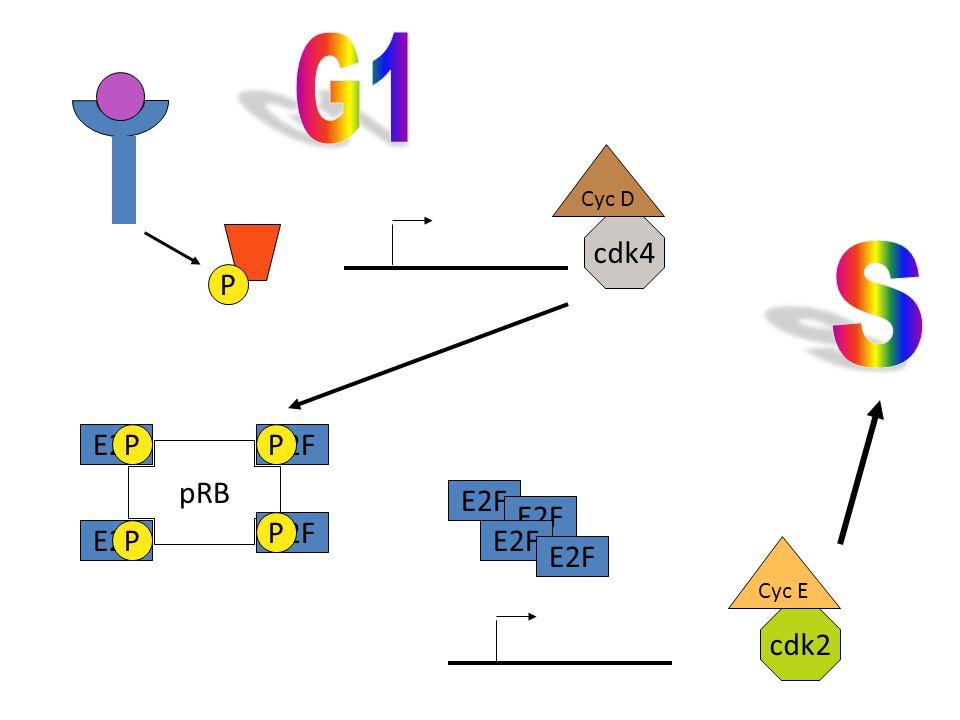 P Cyc D cdk4 pRB E2F P P P P Cyc E cdk2