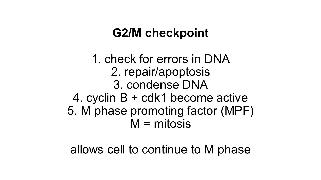 G2/M checkpoint 1. check for errors in DNA 2. repair/apoptosis 3. condense DNA 4. cyclin B + cdk1 become active 5. M phase promoting factor (MPF) M =