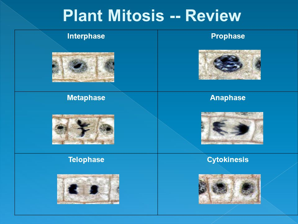 Plant Mitosis -- Review Interphase Prophase Metaphase Anaphase Telophase Cytokinesis