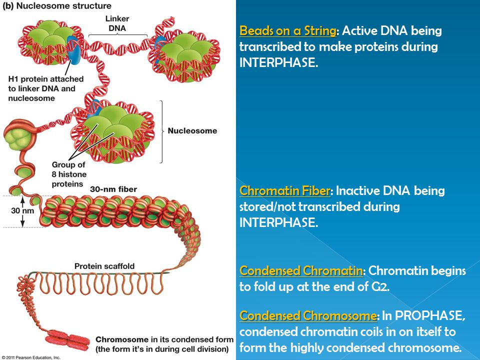 Beads on a String Beads on a String: Active DNA being transcribed to make proteins during INTERPHASE. Chromatin Fiber Chromatin Fiber: Inactive DNA be