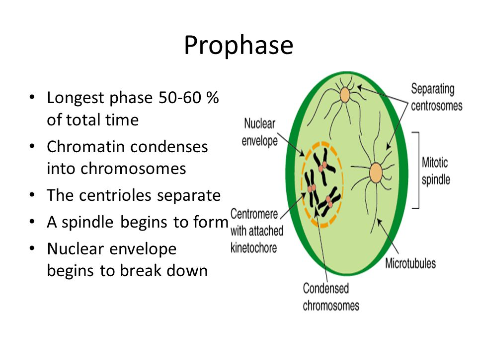 Prophase Longest phase 50-60 % of total time Chromatin condenses into chromosomes The centrioles separate A spindle begins to form Nuclear envelope be