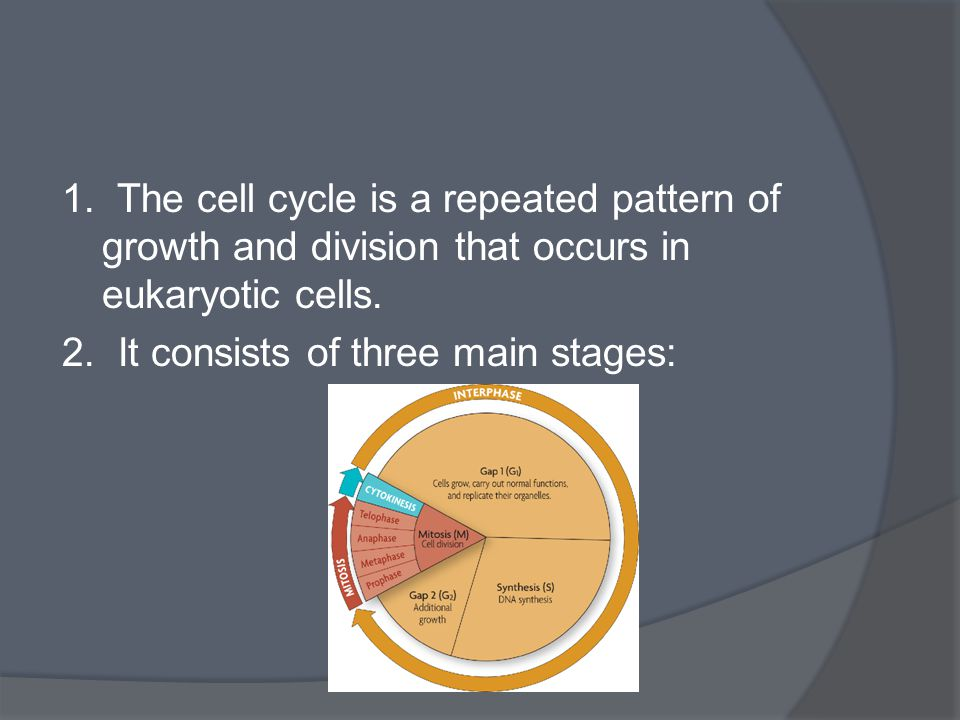 1. The cell cycle is a repeated pattern of growth and division that occurs in eukaryotic cells. 2. It consists of three main stages: