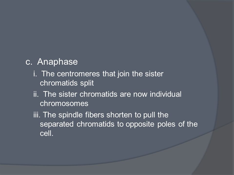 c. Anaphase i. The centromeres that join the sister chromatids split ii. The sister chromatids are now individual chromosomes iii. The spindle fibers