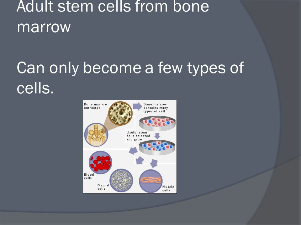 Adult stem cells from bone marrow Can only become a few types of cells.
