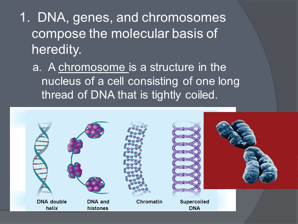 1. DNA, genes, and chromosomes compose the molecular basis of heredity. a. A chromosome is a structure in the nucleus of a cell consisting of one long