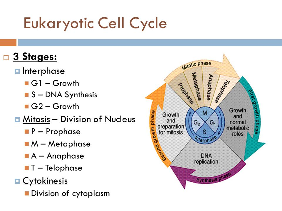 Eukaryotic Cell Cycle  3 Stages:  Interphase G1 – Growth S – DNA Synthesis G2 – Growth  Mitosis – Division of Nucleus P – Prophase M – Metaphase A – Anaphase T – Telophase  Cytokinesis Division of cytoplasm