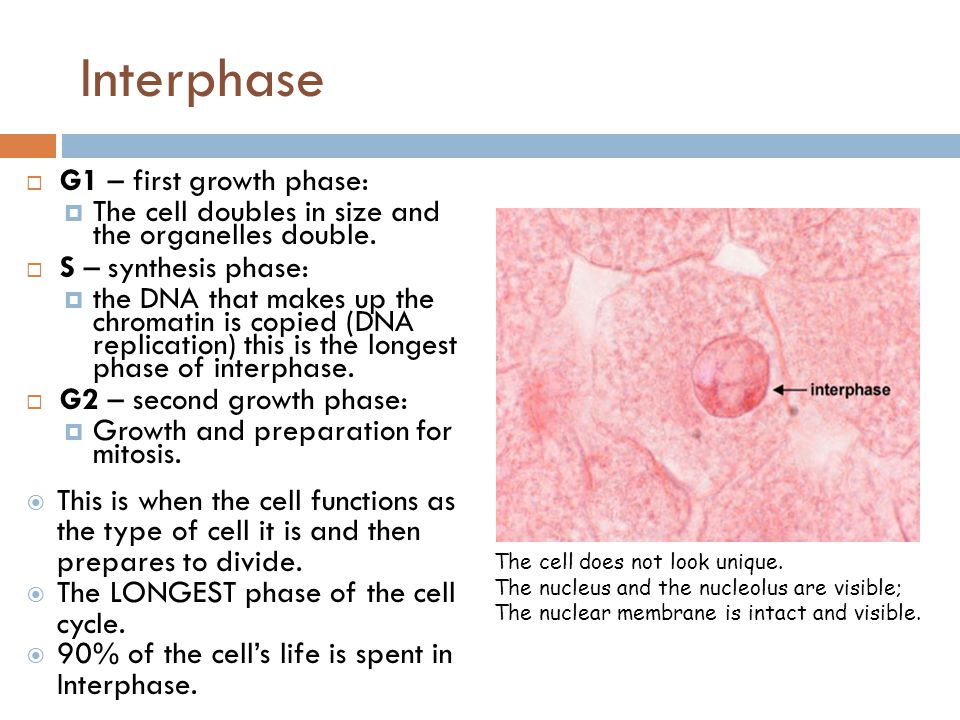 Interphase  G1 – first growth phase:  The cell doubles in size and the organelles double.  S – synthesis phase:  the DNA that makes up the chromat