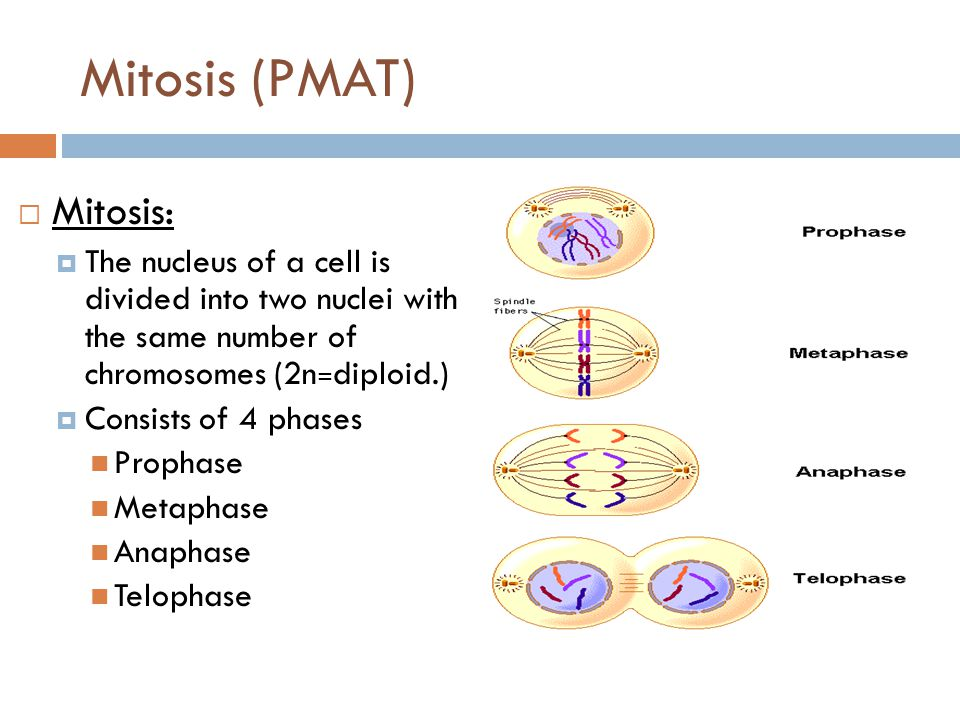 Mitosis (PMAT)  Mitosis:  The nucleus of a cell is divided into two nuclei with the same number of chromosomes (2n = diploid.)  Consists of 4 phase