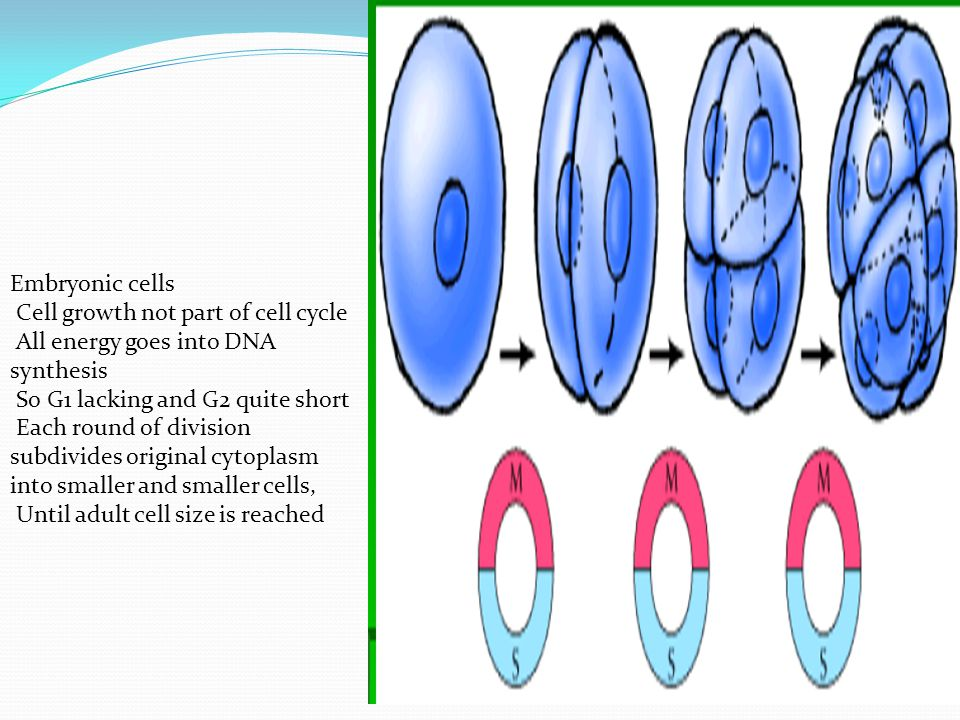 Embryonic cells Cell growth not part of cell cycle All energy goes into DNA synthesis So G1 lacking and G2 quite short Each round of division subdivid