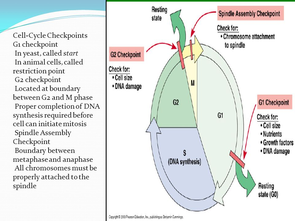 Cell-Cycle Checkpoints G1 checkpoint In yeast, called start In animal cells, called restriction point G2 checkpoint Located at boundary between G2 and