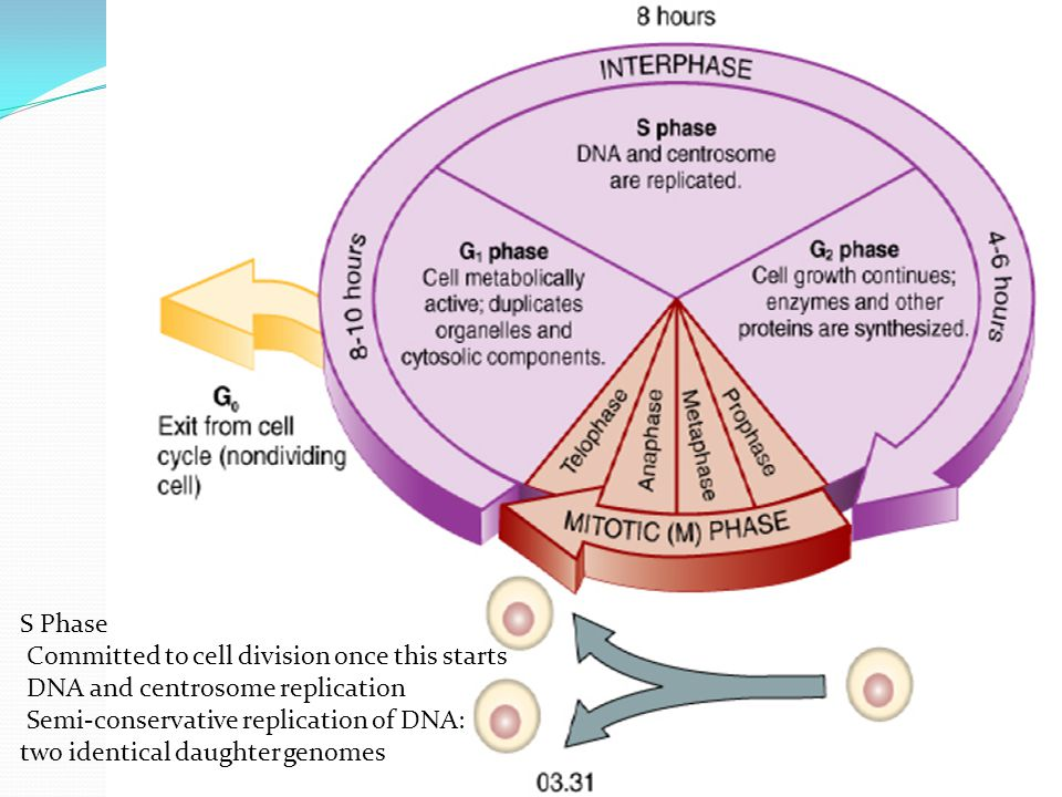 S Phase Committed to cell division once this starts DNA and centrosome replication Semi-conservative replication of DNA: two identical daughter genome