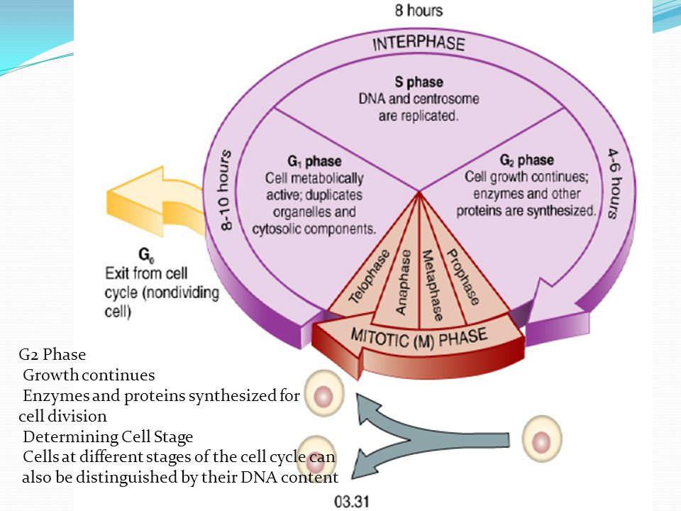 G2 Phase Growth continues Enzymes and proteins synthesized for cell division Determining Cell Stage Cells at different stages of the cell cycle can al