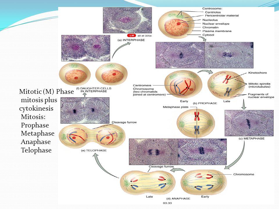 Mitotic (M) Phase mitosis plus cytokinesis Mitosis: Prophase Metaphase Anaphase Telophase