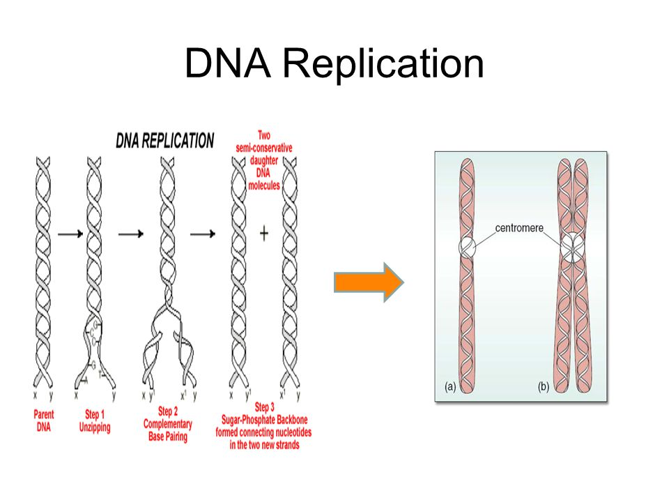 Chromosome Replication & Division Every time a cell divides, each chromosome must be carefully replicated (copied) and then distributed to assure that each daughter cell gets a complete and accurate set of information.