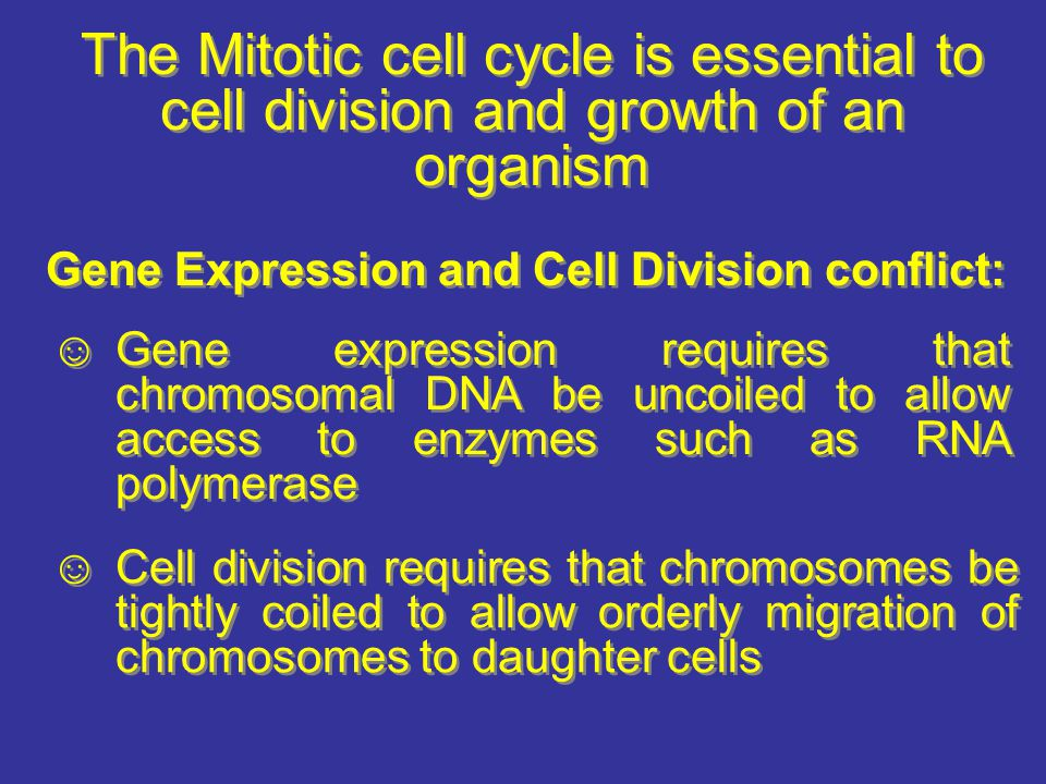 The Mitotic cell cycle is essential to cell division and growth of an organism Gene Expression and Cell Division conflict: Gene expression requires th