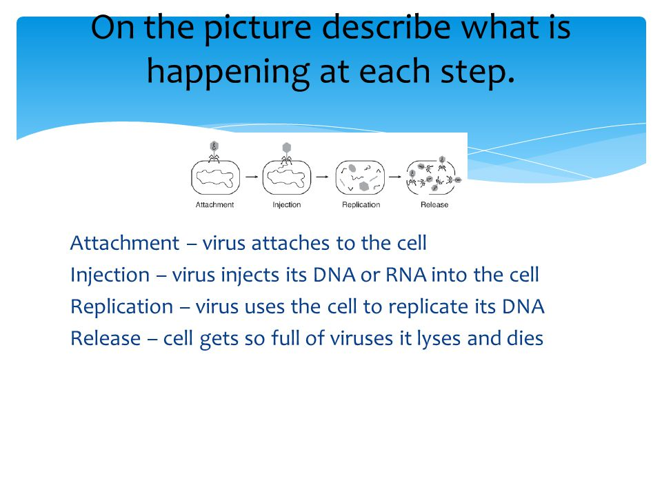 Attachment – virus attaches to the cell Injection – virus injects its DNA or RNA into the cell Replication – virus uses the cell to replicate its DNA Release – cell gets so full of viruses it lyses and dies On the picture describe what is happening at each step.