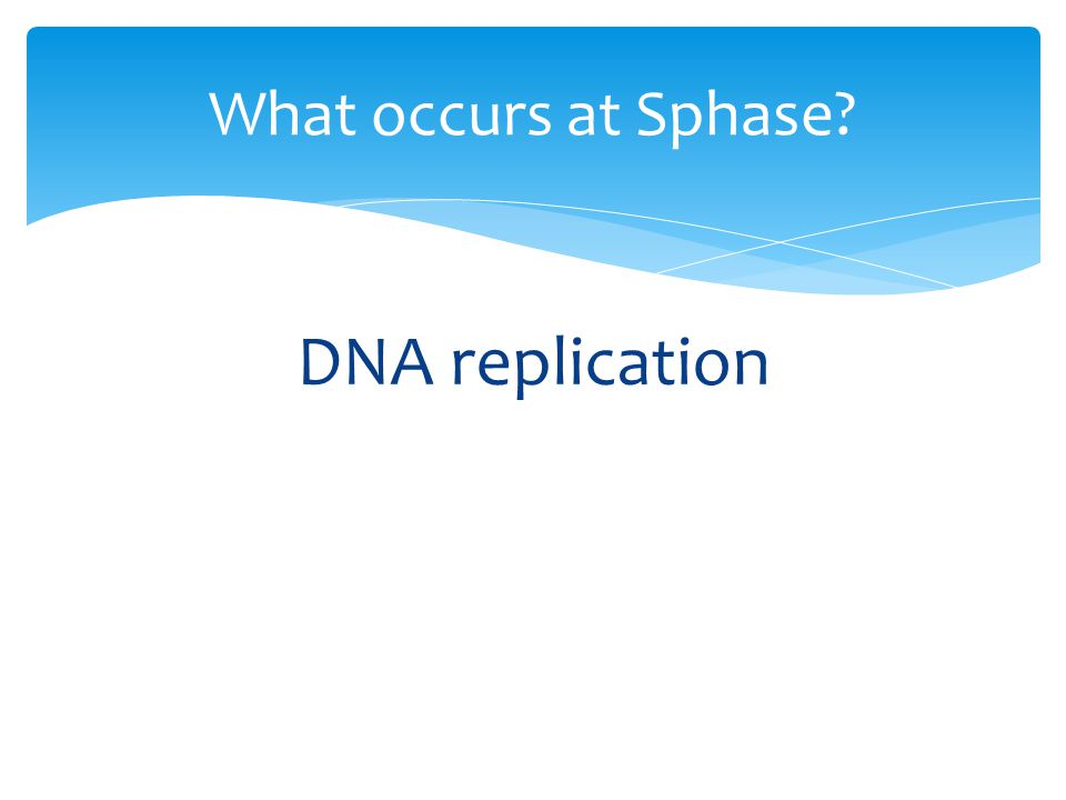 DNA replication What occurs at Sphase?