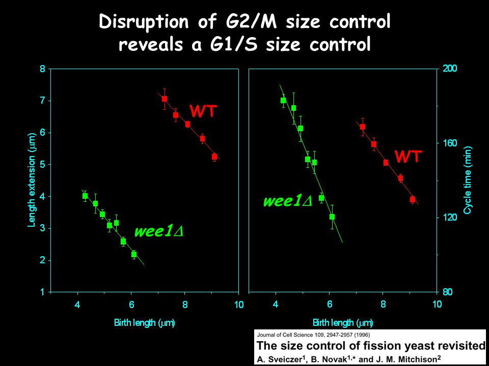 WT wee1  Disruption of G2/M size control reveals a G1/S size control