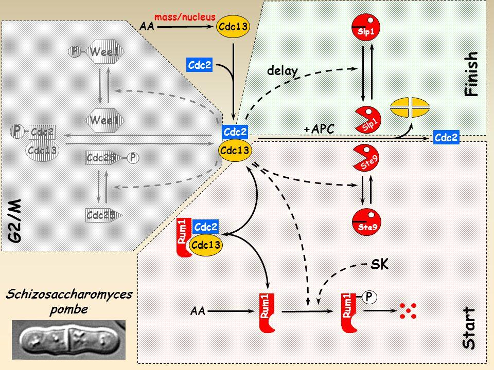P Cdc25 Wee1 P G2/M Cdc25 Cdc2 Cdc13 P Slp1 Ste9 P Rum1 AA Ste9 +APC Cdc2 Cdc13 Cdc2 Cdc13 Rum1 Schizosaccharomyces pombe AA Cdc2 Cdc13 delay Start Finish SK mass/nucleus