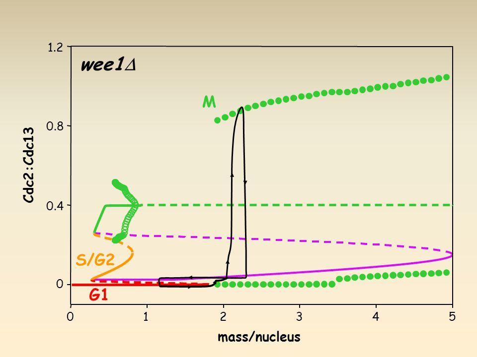 G1 S/G2 M wee1  mass/nucleus Cdc2:Cdc13