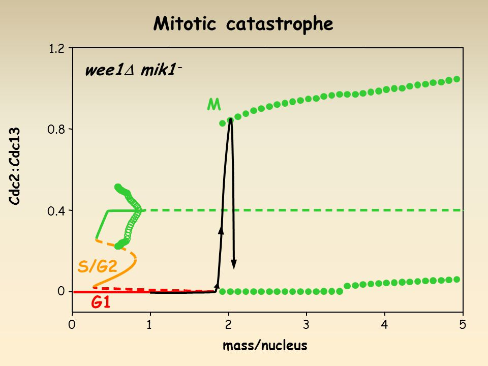 wee1  mik1 - mass/nucleus Cdc2:Cdc13 G1 S/G2 M Mitotic catastrophe
