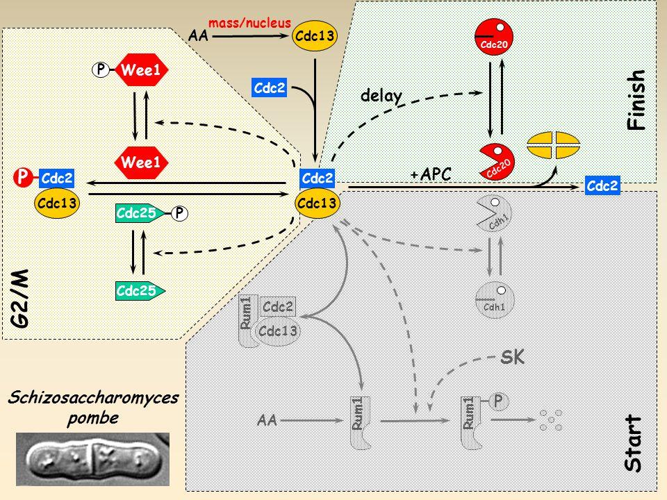 P Cdc25 Wee1 P G2/M Cdc25 Cdc2 Cdc13 P Cdc20 Cdh1 P AA Cdh1 +APC Cdc2 Cdc13 Cdc2 Cdc13 Schizosaccharomyces pombe AA Cdc2 Cdc13 delay Start Finish SK Rum1 mass/nucleus