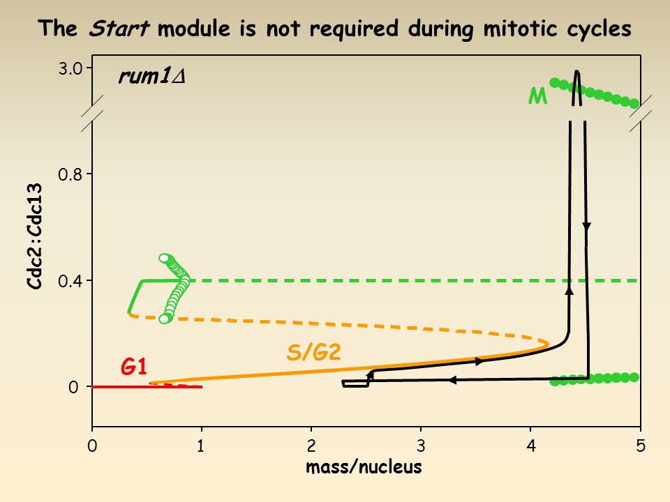 Cdc2:Cdc13 G1 S/G2 M rum1  The Start module is not required during mitotic cycles