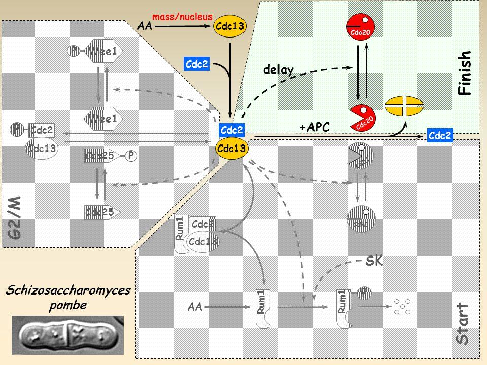 Cdc20 Cdh1 P AA Cdh1 +APC Cdc2 Cdc13 Cdc2 Cdc13 Schizosaccharomyces pombe AA Cdc2 Cdc13 delay Start Finish SK Rum1 P Cdc25 Wee1 P G2/M Cdc25 Cdc2 Cdc13 P mass/nucleus