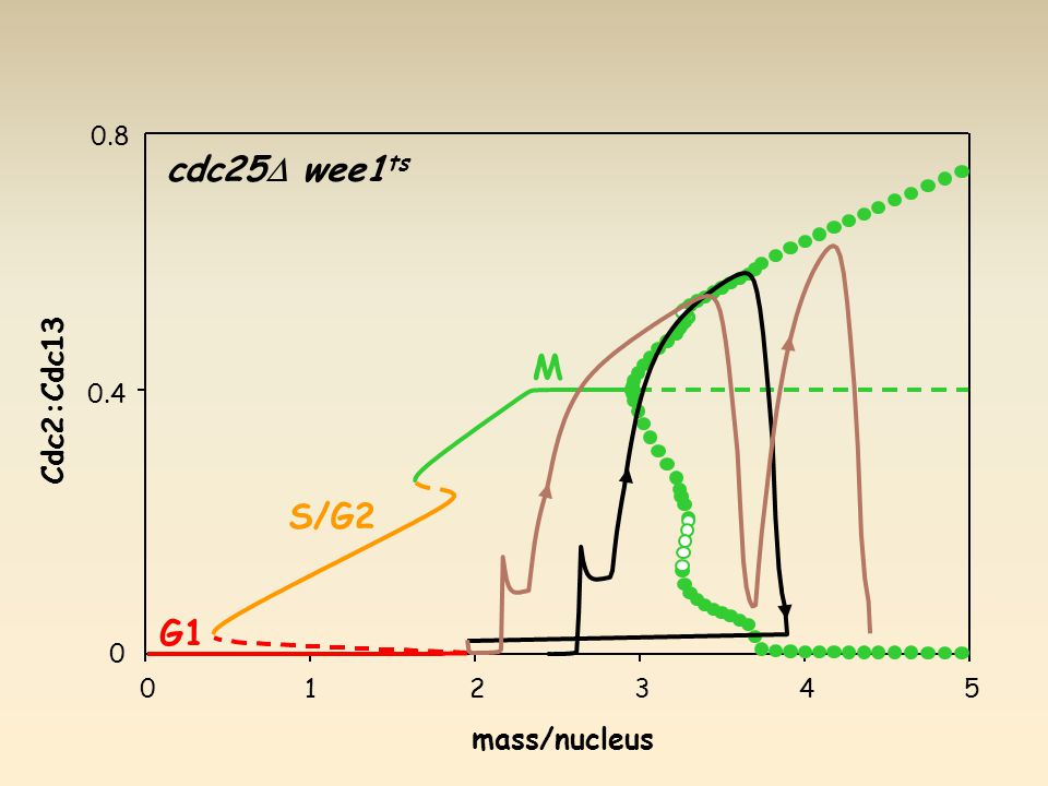 G1 S/G2 M cdc25  wee1 ts mass/nucleus Cdc2:Cdc13